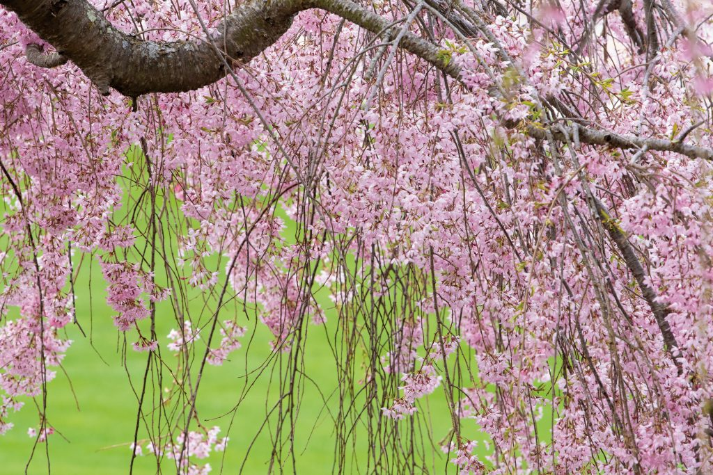 Blooming tree on the great lawn on April 19, 2021. (Sean Flynn/UConn Photo)