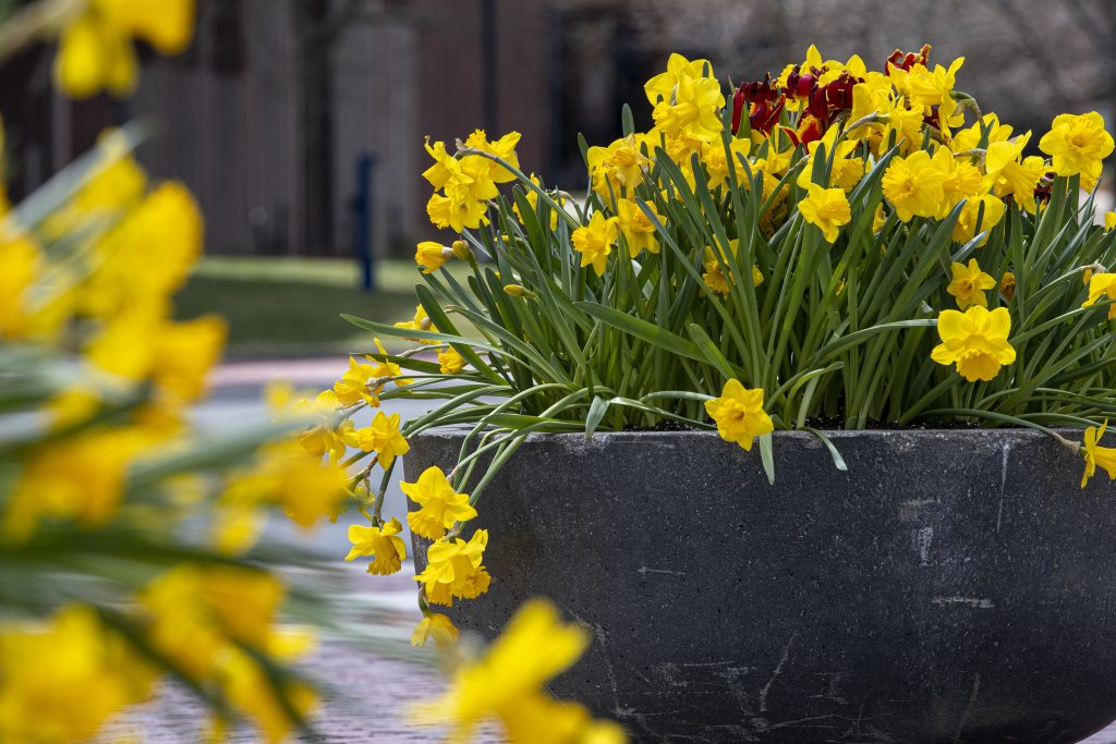 Tulips blooming during early spring on April 8, 2021. (Sean Flynn/UConn Photo)
