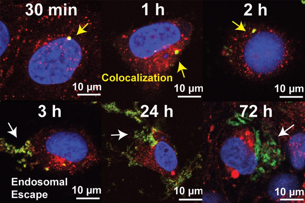 Nanotube bundles (yellow) containing RNA enter a cell. From left to right, the images show the endosomes (red) surrounding the nucleus (blue) of the cell begin to swell. Around the 3 hour mark, the endosomes burst and spill the RNA payload (green). The RNAs spread throughout the cell over the next two days.