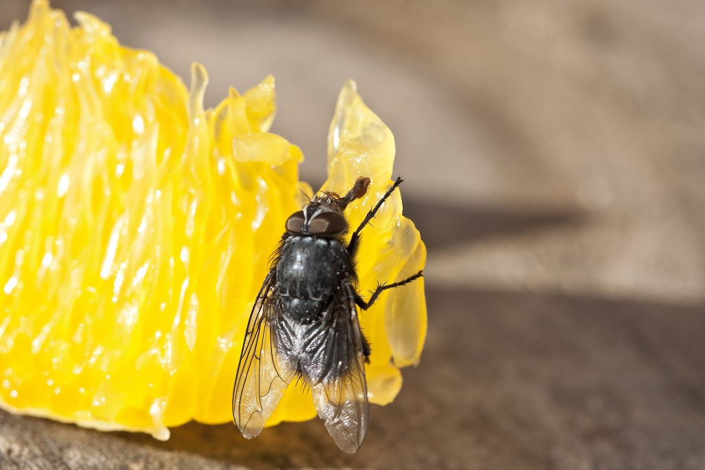 Flies smell using their antennae, and learning more about how that works yields important information for researchers.