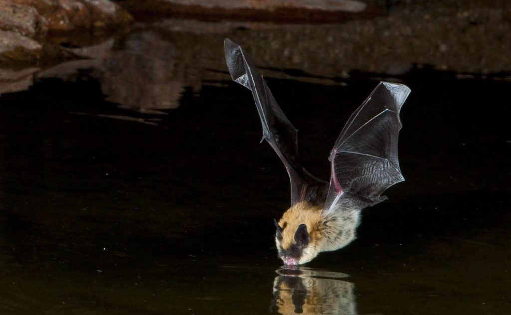 A big brown bat - one of the species common in Connecticut - stops for a drink. Researchers have found that areas of woodland with recently cut trees are popular habitats for bats.