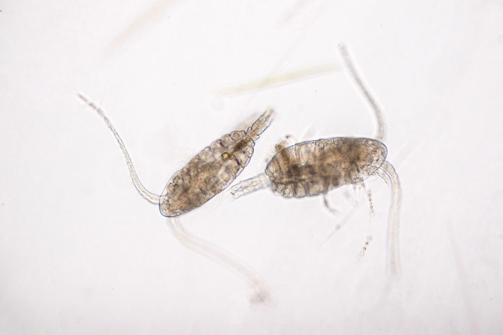 Copepod (Zooplankton) are a group of small crustaceans found in the marine and freshwater habitat (Adobe Stock).