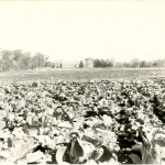 A view from the east of Hawley Armory in this 1916 photo, from what is now approximately the site of Homer Babbidge Library, and what was then a cabbage field (Department of Archives & Special Collections/UConn Library).